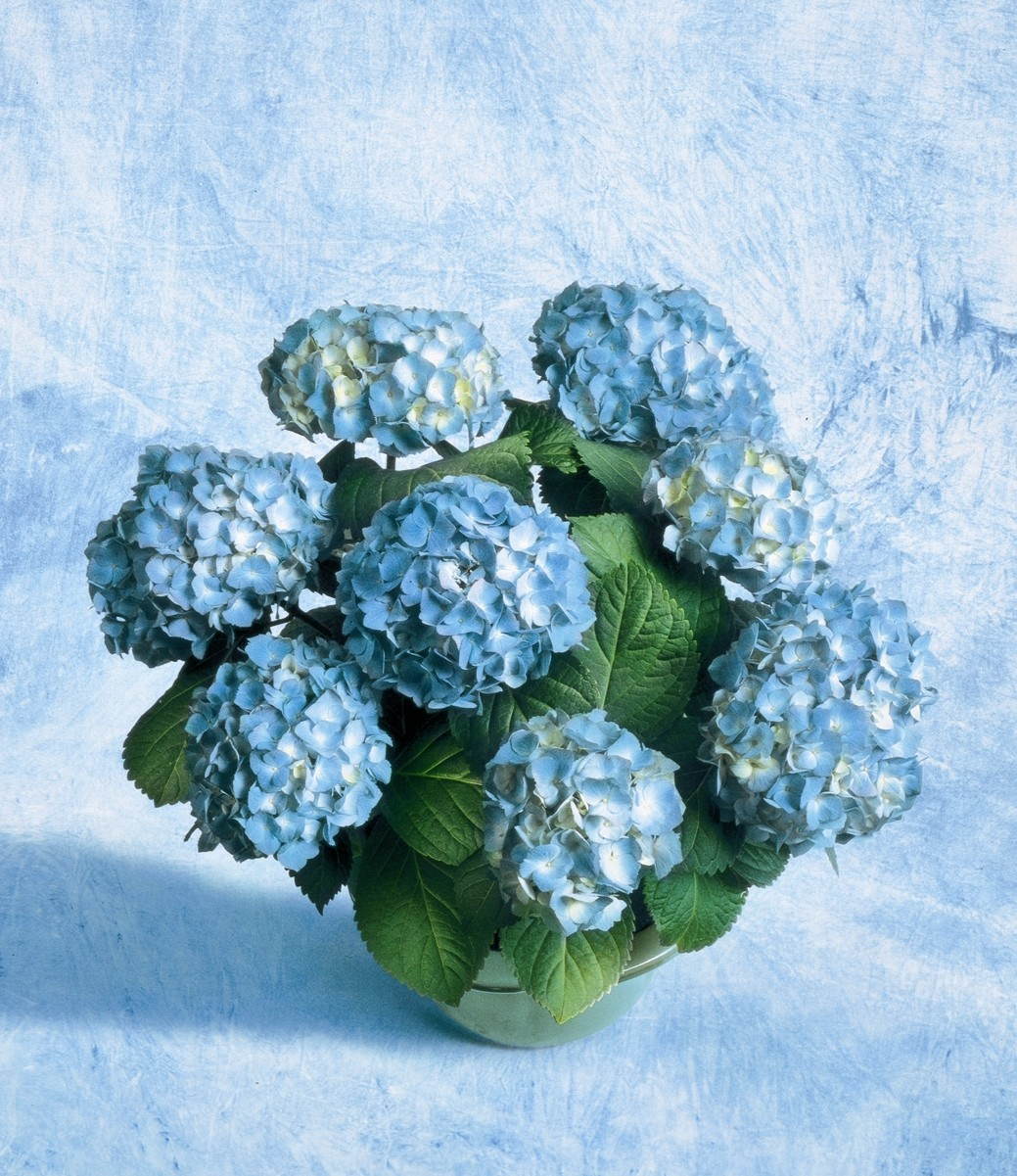 Ortensie blu stelle e stelline - Ortensia blu ...